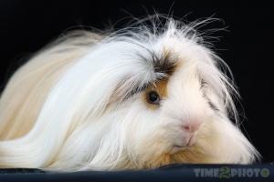 Animais/Sim, Sou um Porco-da-Índia