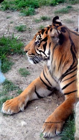 Outros/Tigre
