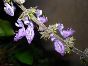 Macro/Flor de Boldo