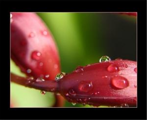 /'Orquídeas em Botão'