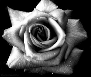 /a rosa que te dou