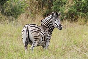 Outros/Zebra