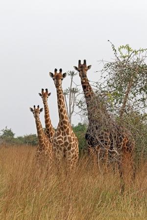 Outros/girafas