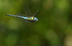 Outros/Aeshna affinis, macho em patrulha