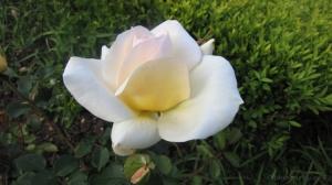 Macro/Uma rosa