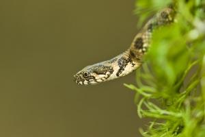 Outros/Cobra-de-água-viperina