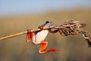 Macro/NG frog