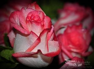 Macro/...Amar a Rosa