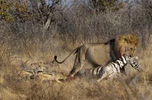 /Leão carrega sua presa e chacais tentam  roubar al