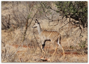 /Young Kudu