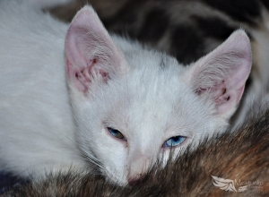 Animais/...Blue eyes