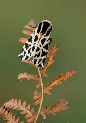 Macro/Cymbalophora pudica