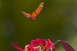 /Dança da borboleta