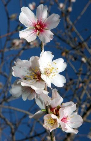 Outros/Flor da Amendoeira - Algarve