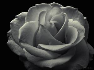 /Uma simples rosa