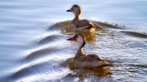 /Patinhos na lagoa