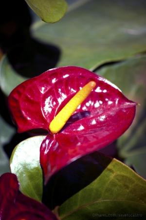 Paisagem Natural/Antúrio florindo em casa