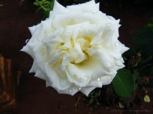 /Uma rosa com gotas...