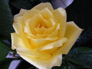 /Rosa com gotículas...