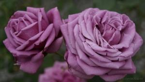 /...Rosas que ofereço com carinho...