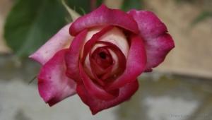 /****** Botão de Rosa ******