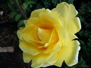 /Mais uma rosa...