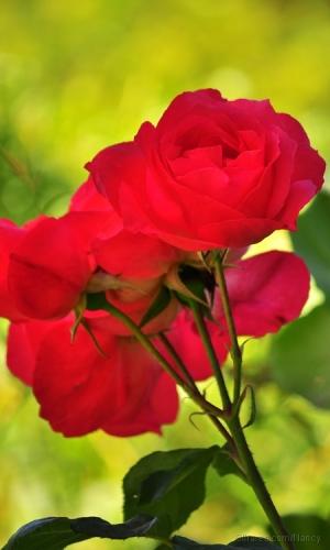 /Rosas Pasión