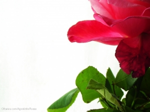 """Outros/""""The Red Rose"""""""