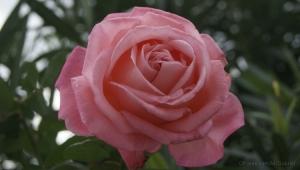 /:: Rosa  Cor-de-rosa ::