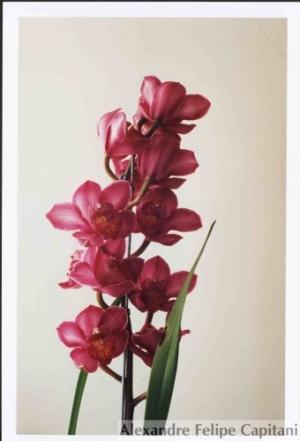 /Minha Orquídea