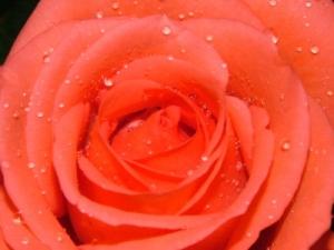 /uma rosa