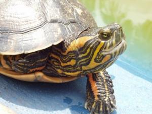 /beleza de uma tartaruga