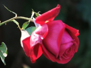 /Uma rosa de outono