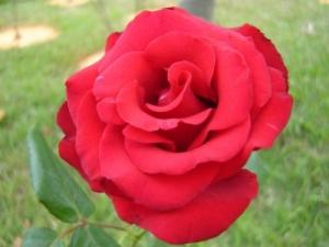 /As rosas não falam...