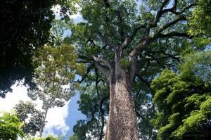 Paisagem Natural/Jequitibá Rosa, a Maior árvore da América do Sul.