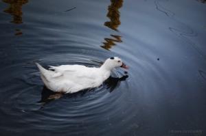 Outros/O pato, vinha cantando alegremente, Quem! Quem!...
