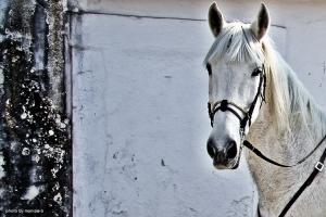 /white horse