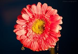 Macro/Lágrimas de Flor