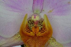 Macro/Orquidea