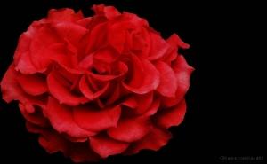 Macro/,,,uma rosa vermelha,nada mais!!!