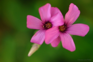 /Flor de trevo