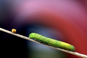 Macro/A lagartinha