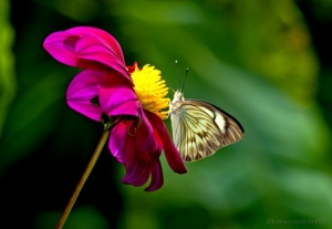 Macro/Dahlia and butterfly