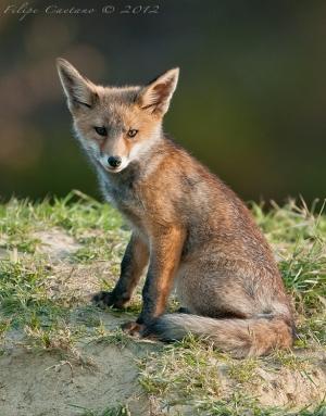Animais/Cria de raposa vermelha (Vulpes vulpes)