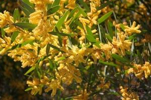 Paisagem Natural/Acacia Longifolia em floração