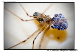 Macro/Aranha com Ovos