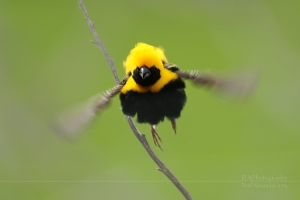 Animais/Fly in Yellow