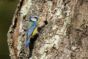 Animais/Chapim azul | Cyanistes caeruleus (Parus caeruleus