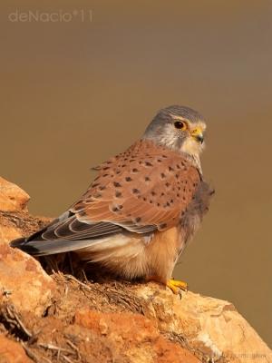 /Falco tinnunculus.