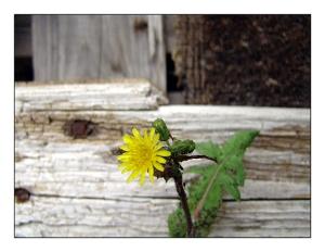 /Florinha amarela